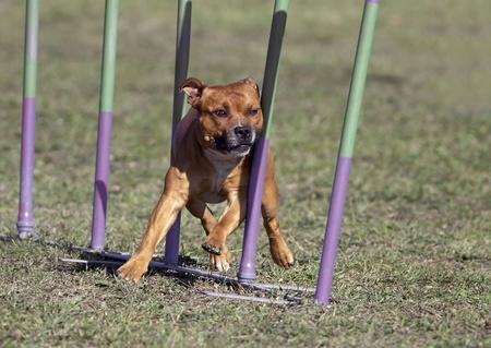 slalom: American Staffordshire terrier w slalomie agility