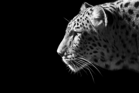 白と黒の美しいヒョウの肖像画 写真素材 - 21050161
