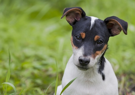 Funny jack russel terrier puppy looking photo
