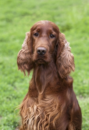 purebreed: Beautiful young Irish Setter female looking at the camera Stock Photo