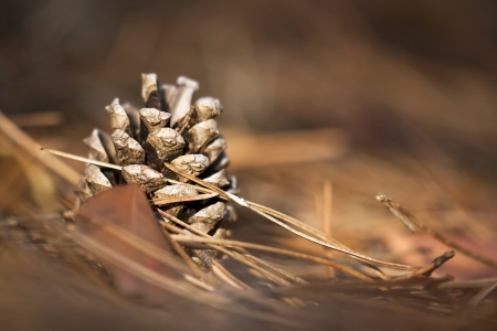 Beautiful pine cone in the forest - close up photo