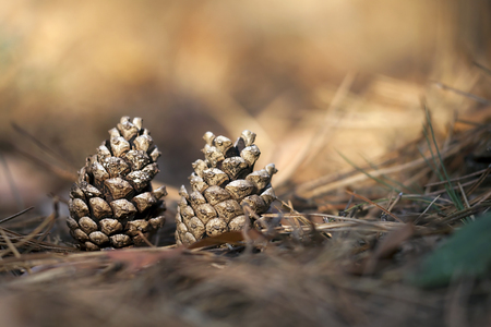 Beautiful pine cones in the forest - close up