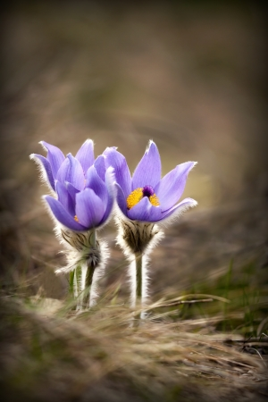 Beautiful purple windflowers in early Spring photo