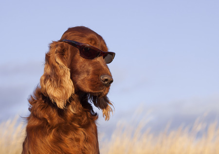 Beautiful Irish Setter male taking a sunbath photo
