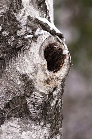 Birch trunk with a hole photo