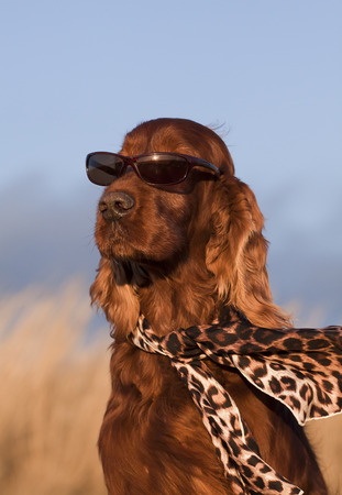 Beautiful Irish Setter with sunglasses and scarf photo