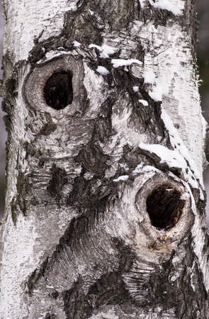 Birch trunk with two holes photo