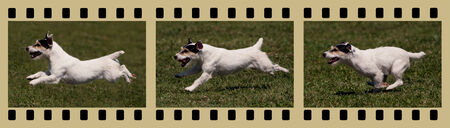 Moments of a funny jack russel as running in the field - in a photo filmstrip photo