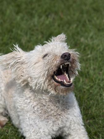 perro furioso: Perro blanco Angry ladrando en la hierba