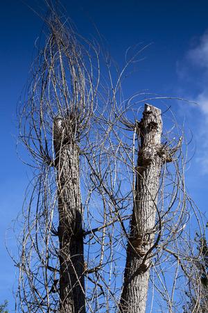 desolaci�n: �rboles marchitos en verano - el cambio clim�tico Foto de archivo