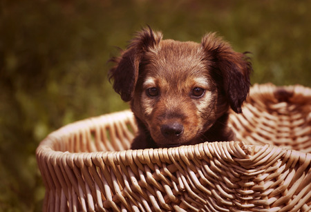 Adorable dachshund puppy sitting in a basket photo
