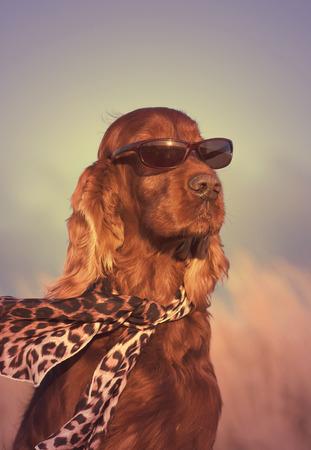 Beautiful Irish Setter with sunglasses and scarf photo