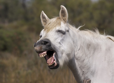 Funny grey horse laughing in the camera photo