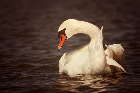 Beautiful swan swimming in the water photo