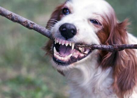 Angry white dog biting a stick photo