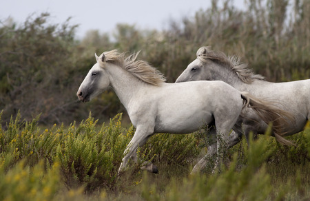 Beautiful white horses running in the field photo