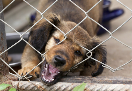 Dachshund puppy bitting the wire mesh fence - he is trying to escape from his kennel