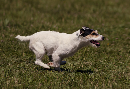 speedy: Speedy jack russel terrier running in the grass