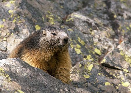 hideout: Alpine marmot (Marmota marmota) in the Alpines