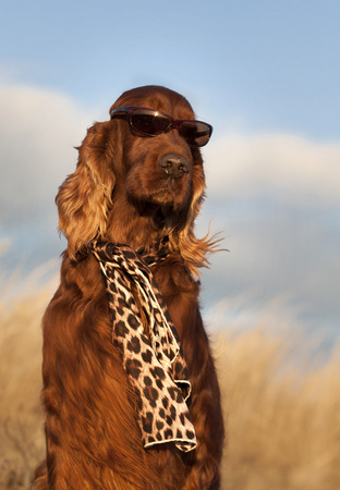 setter: Beautiful Irish Setter with sunglasses and scarf