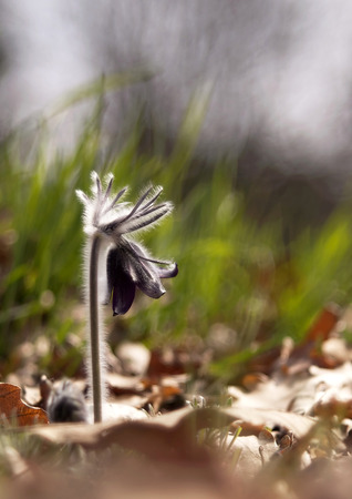 windflower: Beautiful in Spring windflower