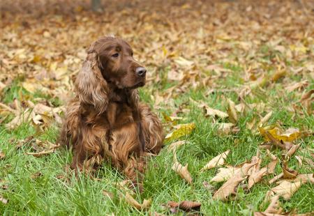 setter: Beautiful Irish Setter looking in the autumn leaves