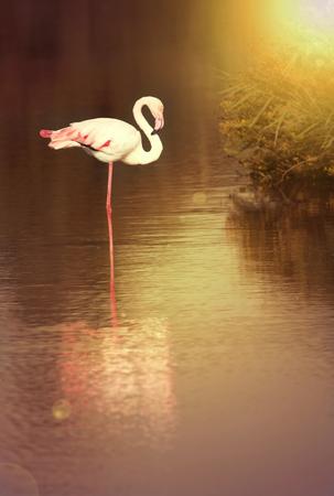 Beautiful black Flamingo resting in the water