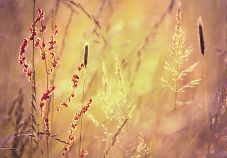 graining: Blooming grass in a Summer field in sunrise Stock Photo