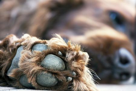 patas de perros: Pow de una hermosa Setter Irlandés perezoso Foto de archivo