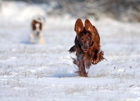 speedy: Speedy Irish Setter running to the camera