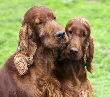 setter: Cute Irish Setter friends