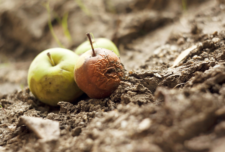 Grubby apples lying on the ground Banco de Imagens