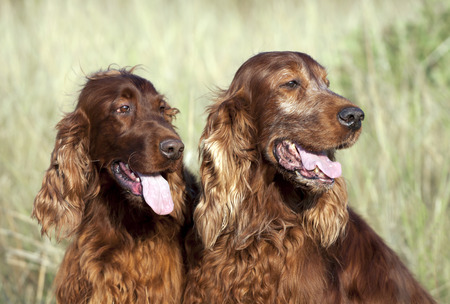 panting: Beautiful Irish Setters panting in a hot Summer