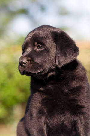 perro labrador: Lindo negro de Labrador Retriever cachorro mirando