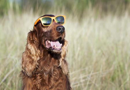 animal mouth: Funny dog wearing orange sunglasses fashion