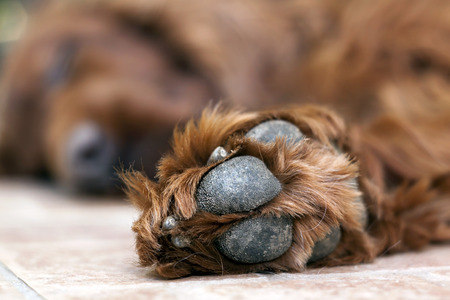sleeping pad: Pow of a beautiful lazy Irish Setter