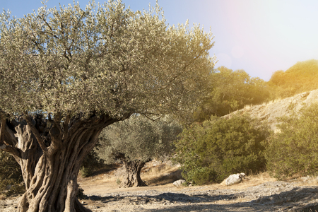 arbol raices: olivos hermosas Foto de archivo