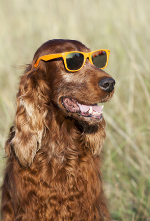 setter: Funny smiling Irish Setter wearing sunglasses