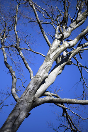 close p: Giant bald beech tree trunk and branches on winter Stock Photo
