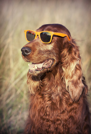 setter: Funny Irish Red Setter wearing sunglasses and smiling