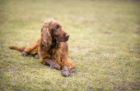 setter: Beautiful Irish Setter looking in the grass