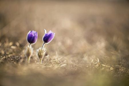 windflower: Beautiful Easter anemone flowers in spring