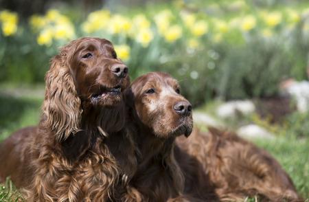 setter: Funny Irish Setter dog looking couple