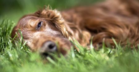 setter: Banner of a beautiful lazy sleeping Irish Setter Stock Photo