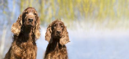 setter: Website banner of funny Irish red Setter dogs