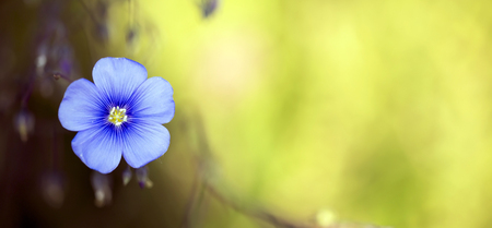 Beautiful blue flax flower on yellow background - website banner