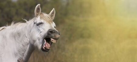 horse laugh: Website banner of the white horse as funny laughing to the camera