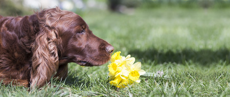 irish easter: Website banner of a happy Irish Setter dog as smelling flowers