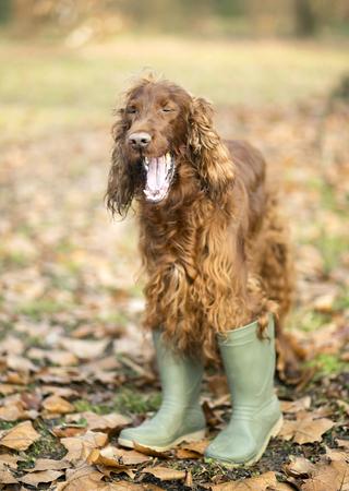 setter: Funny Irish Setter dog yawning Stock Photo