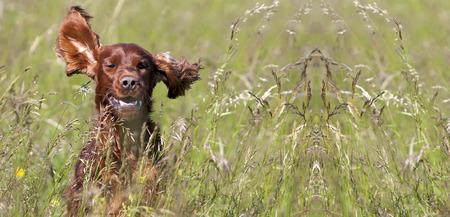 Webseite Banner von einem glücklichen Lächeln Irish Setter Welpen Hund Standard-Bild - 62062521